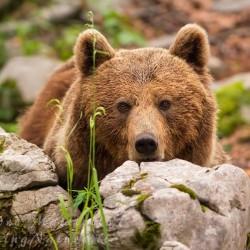 orso primo piano