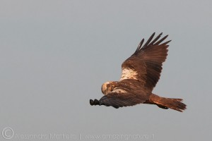 falco di palude_femmina