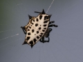 Star spider
