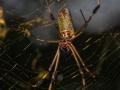 Spider (m, f)