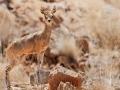 Antilope saltarupe