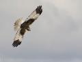 Falco di palude (m)